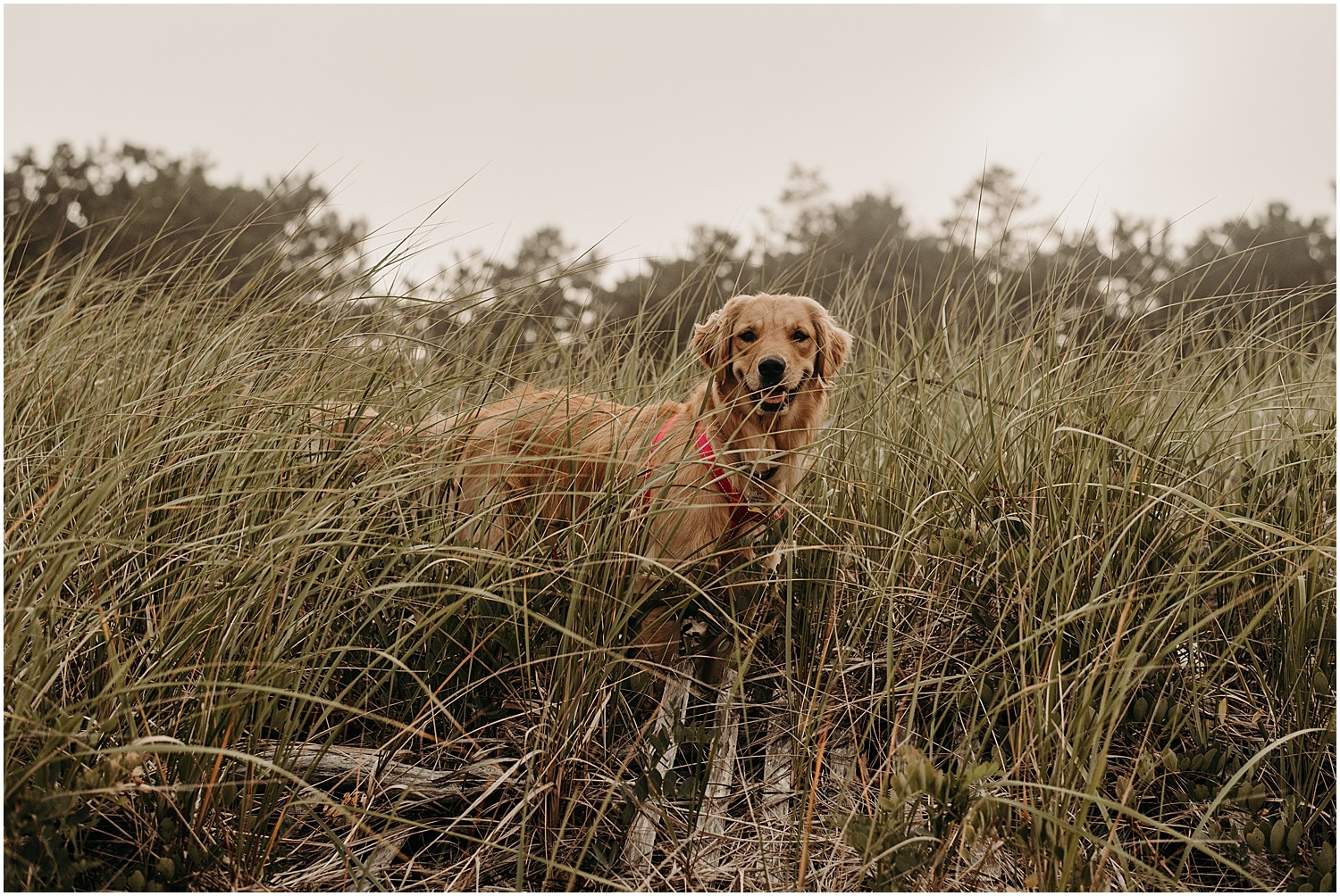Dog in the grass at this couple's Ferry Beach Engagement session